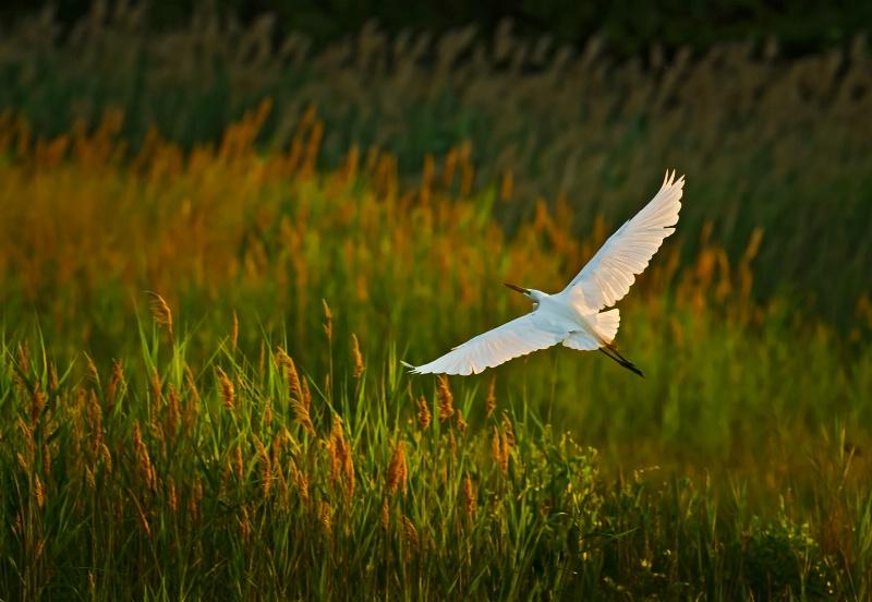 Egret at Bear Swamp