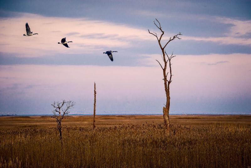 Canada Geese at Bear Swamp