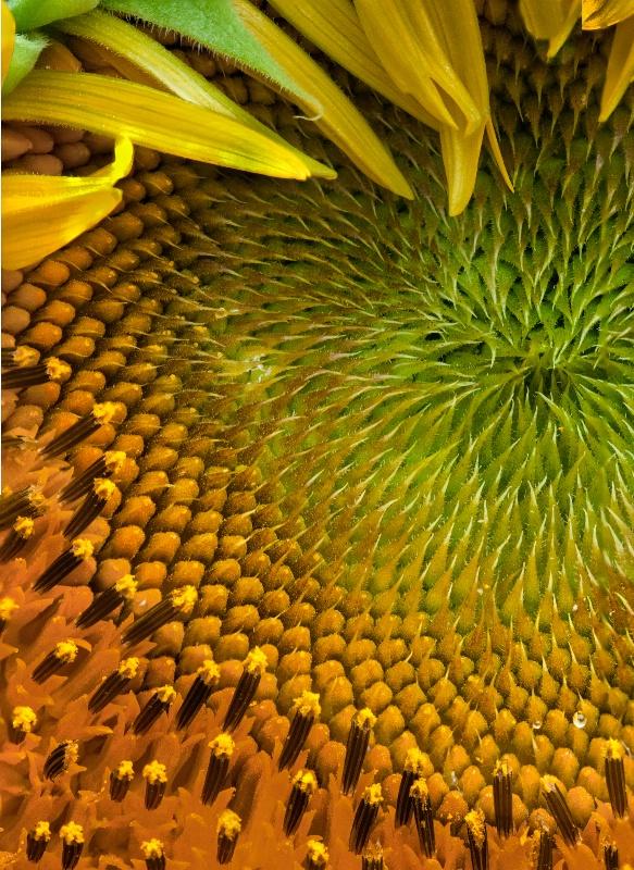 Closeup on a Sunflower