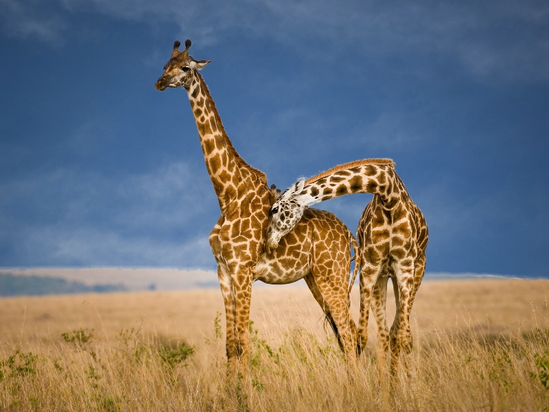 Two Giraffes- Kenya