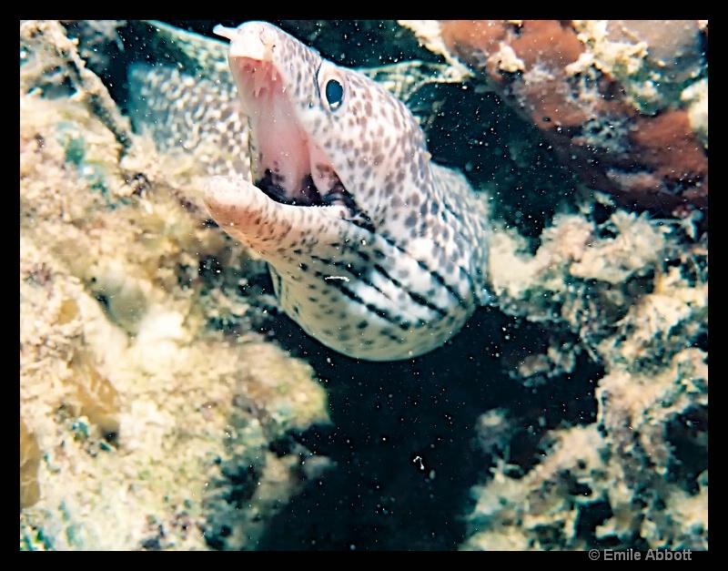 Morey eel
