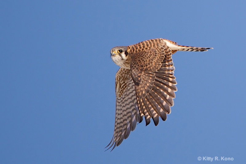 American Kestrel Posing in Valley Forge Today