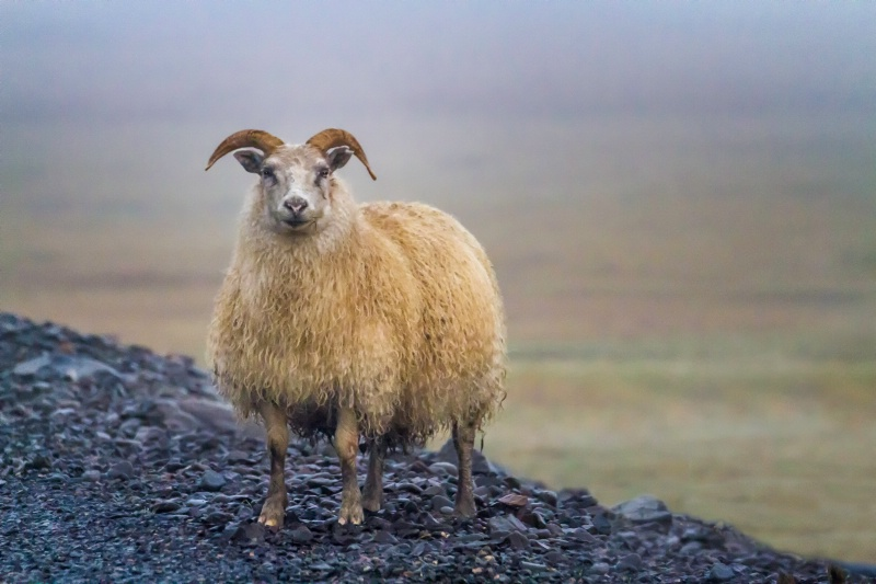Sheep 7261