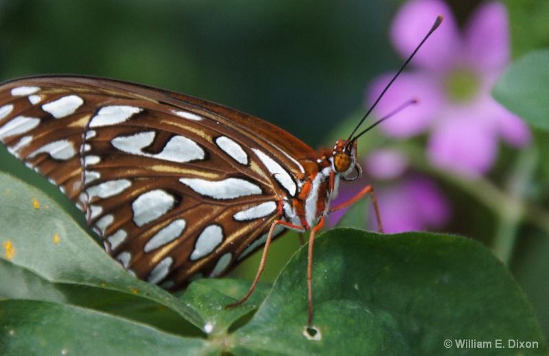 Gulf Fritillary Butterfly Close-up