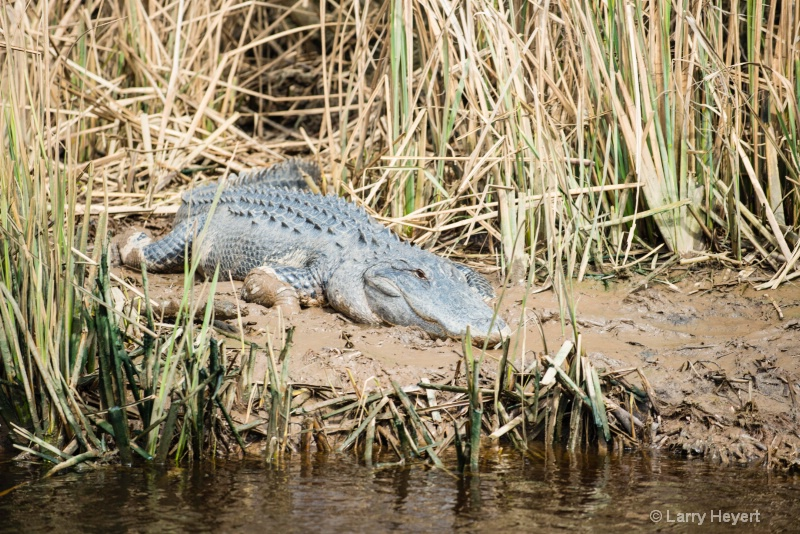 Crocodile at Brookgreen Gardens, South Carolina