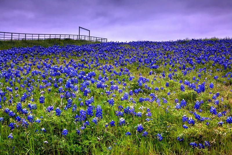Blue Bonnet Fields...... Forever