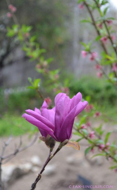 magnolia 2 sm