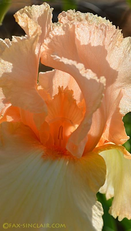 peach iris sm