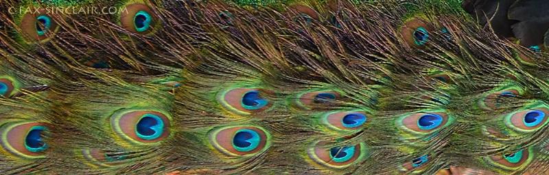 peacock blue sm