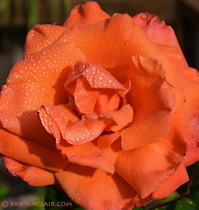 morning rose sm