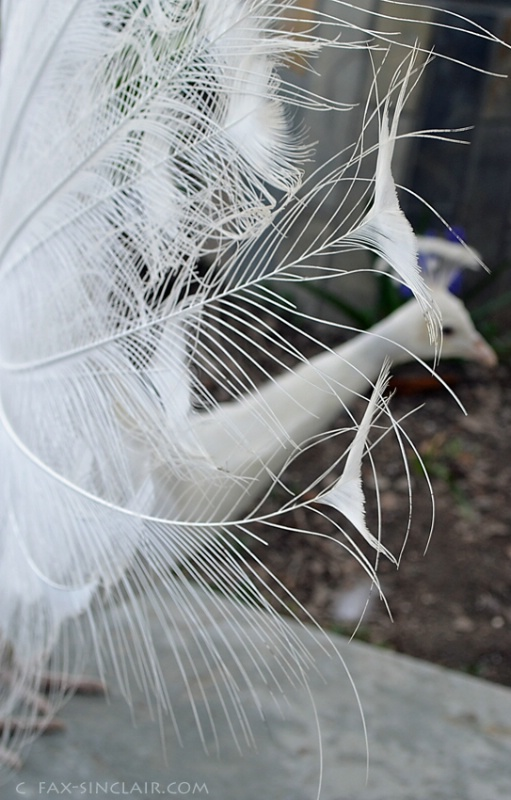 Peacock Elements