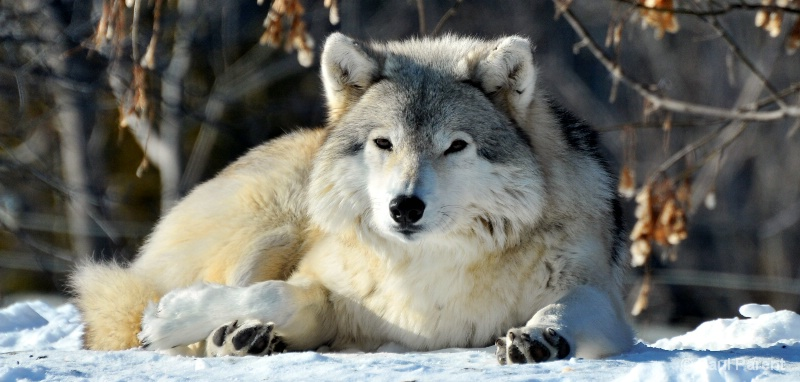 The Good Looking Wolf