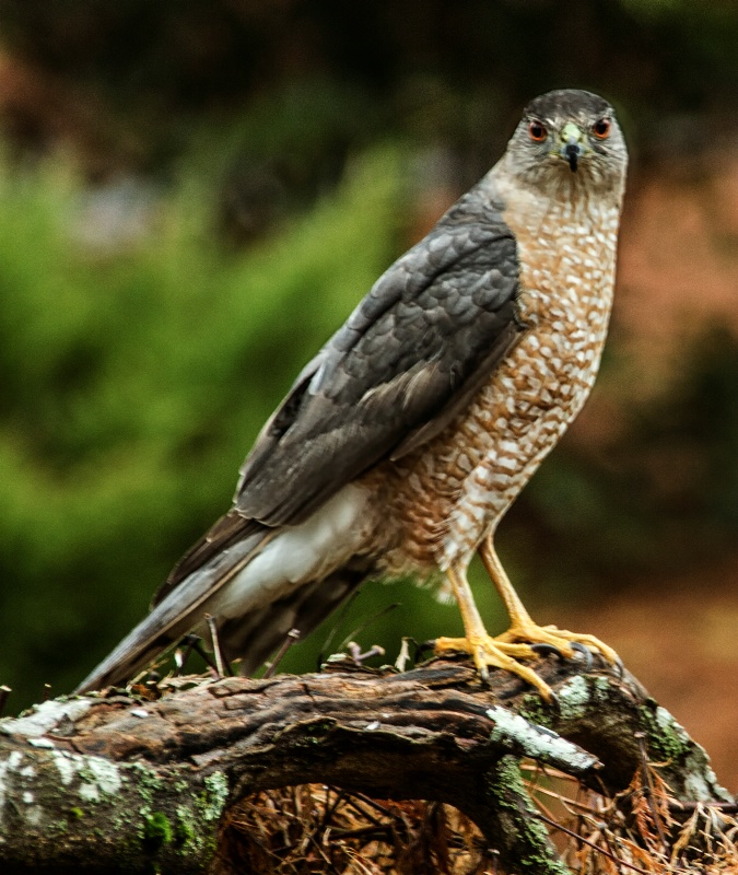 Coopers Hawk of Atlanta 2015