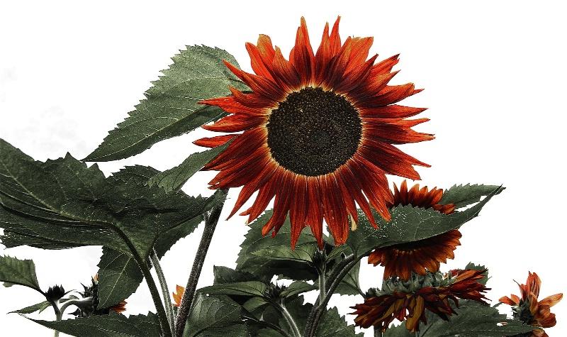 Sunflower  from Below