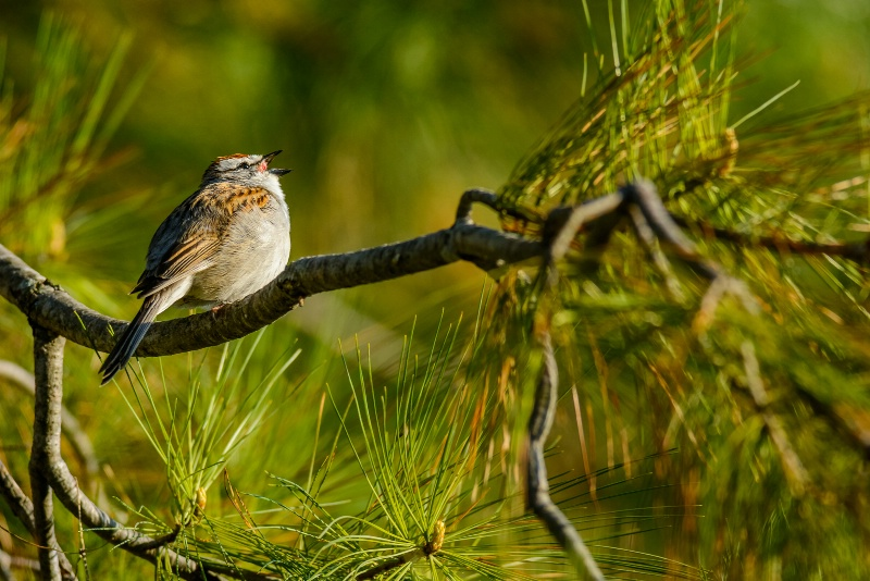 Chipping Sparrow On Pine Branch