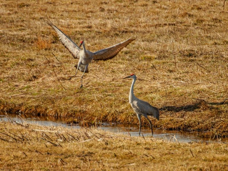 sandhill cranes 3