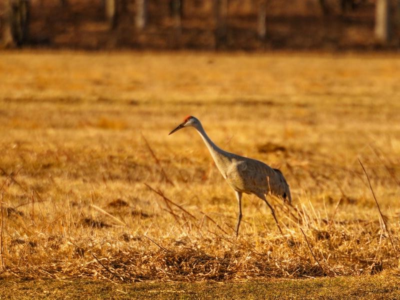 sandhill cranes 1