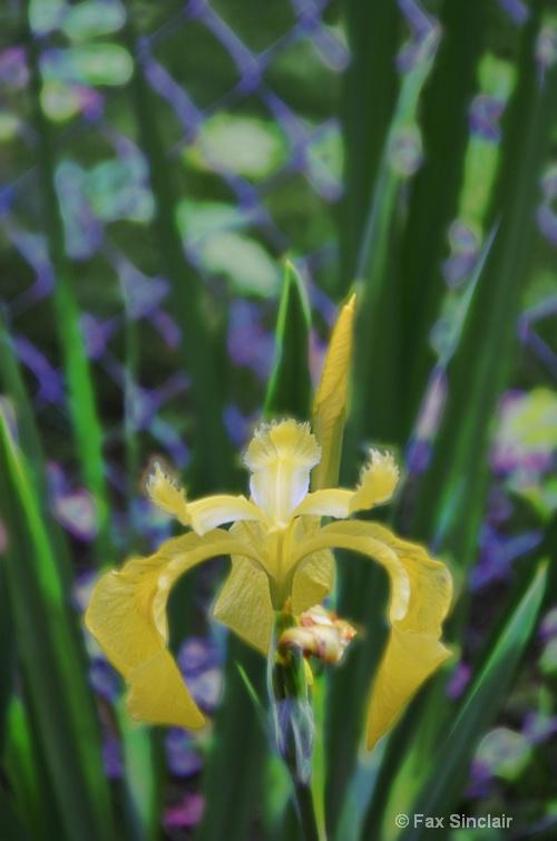 Iris Effect