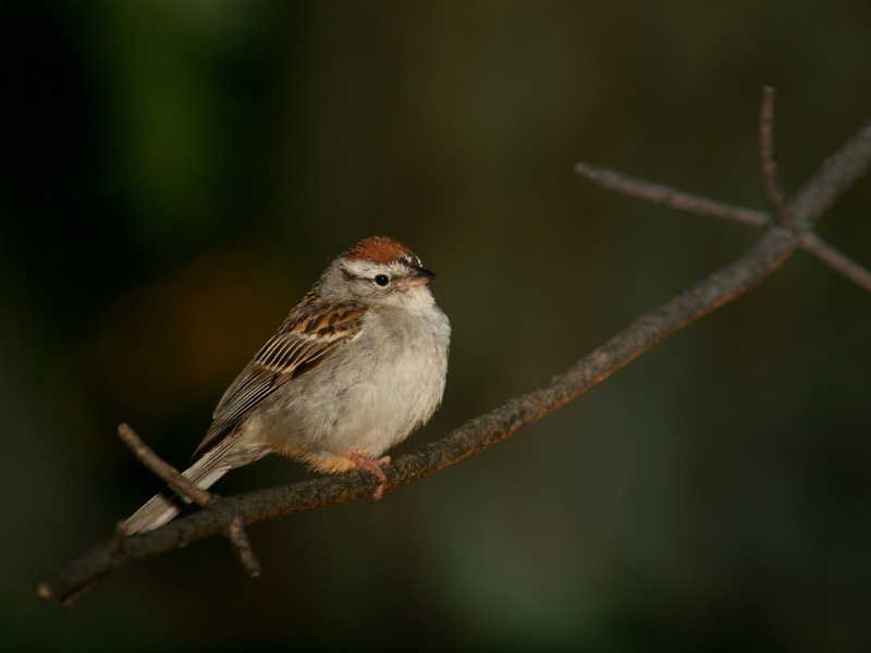 Chipping Sparrow On Branch