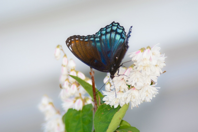 Red Spotted Purple Butterfly on Deutzia Blooms