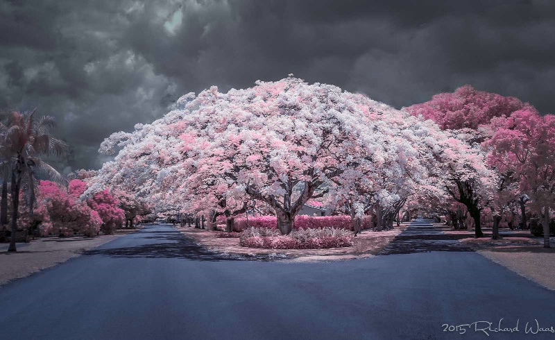 Royal Poinciana in Infrared
