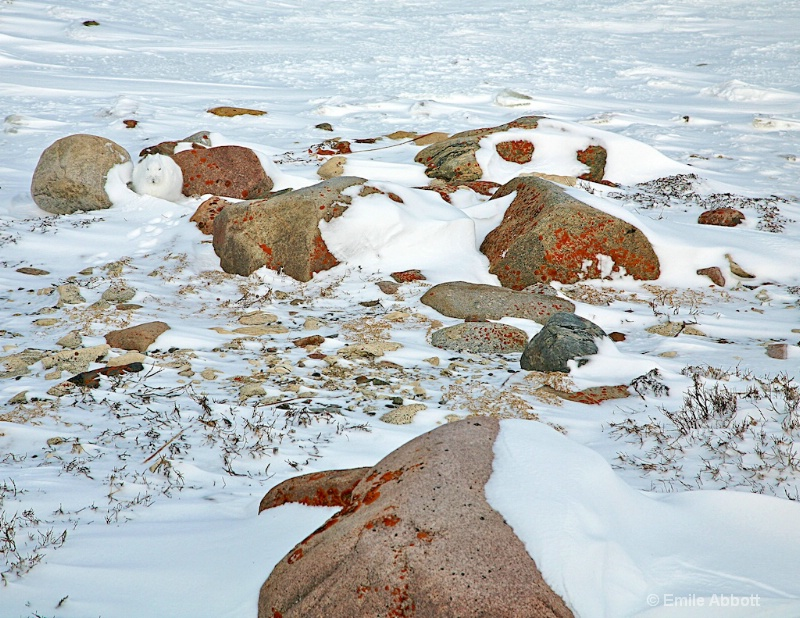 Can you find the Arctic Hare
