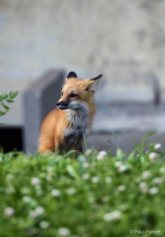 The Little Fox II