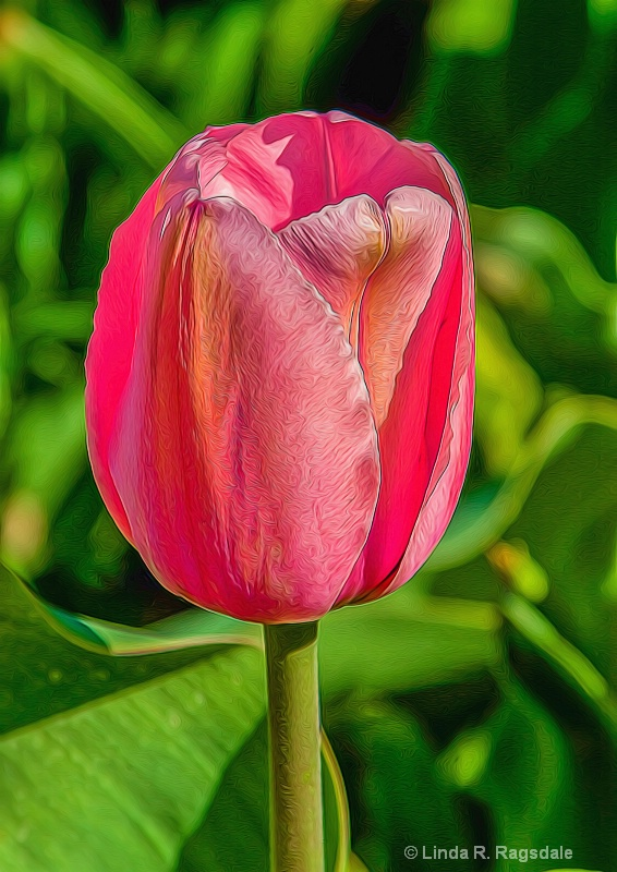 one perfect pink tulip-edit