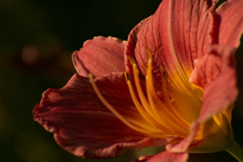 Daylilly Close-up