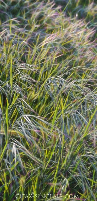 Fractal Grasses