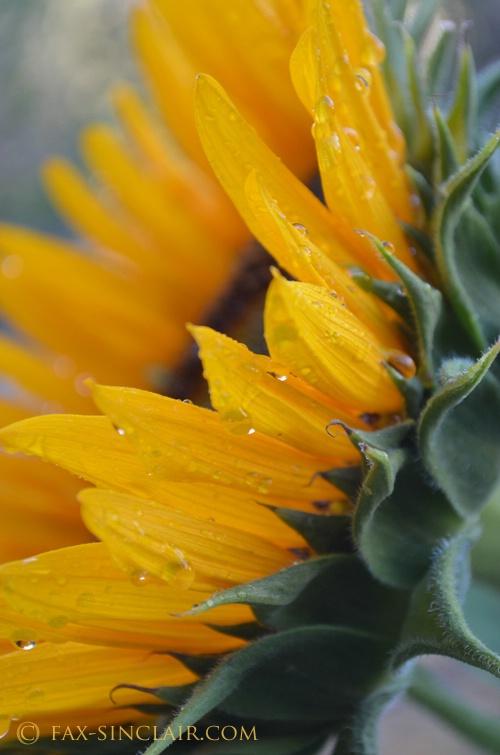 Sunflower Edge