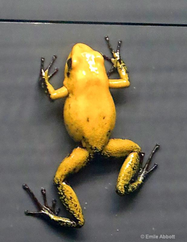 Black legged poison dart frog