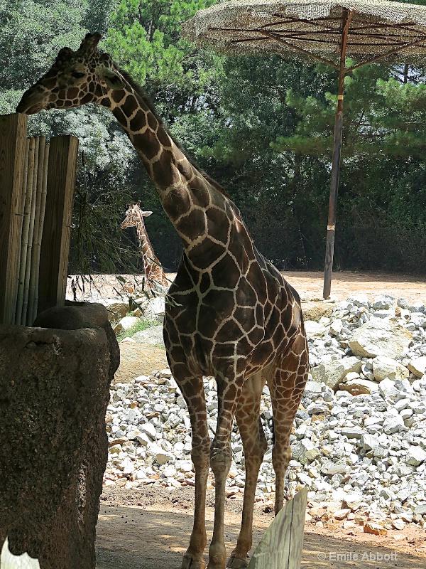 Giraffe framing a Giraffe