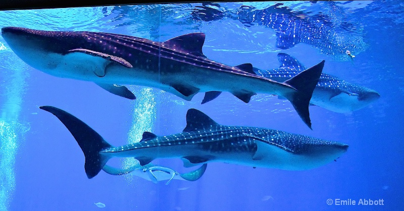 Tres Amigos (Whale Sharks)