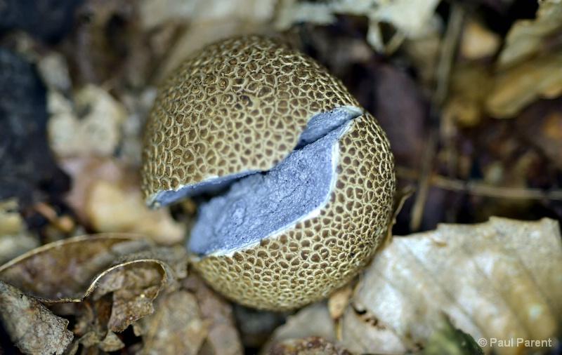 The Little Mushroom