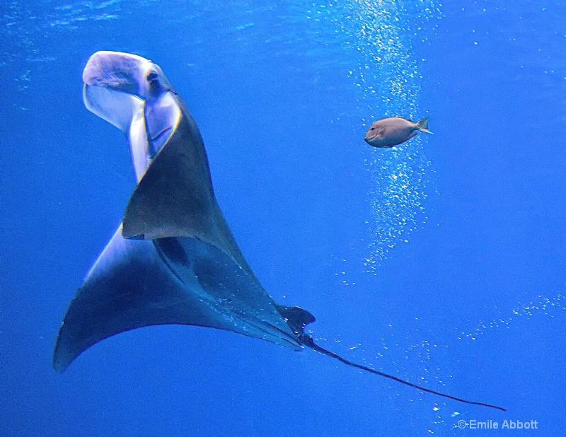 Manta ray ballet  4