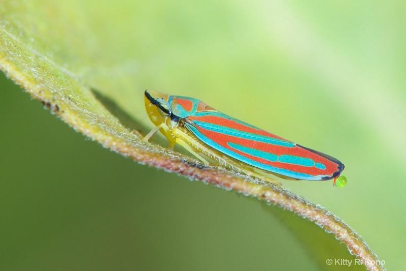 Red Banded Leafhopper Secreting a Little Honeydew
