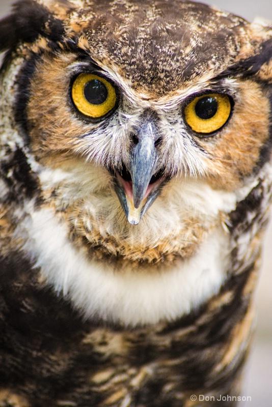 Great Horned Owl Stare 3-0 f lr 8-16-15 j152