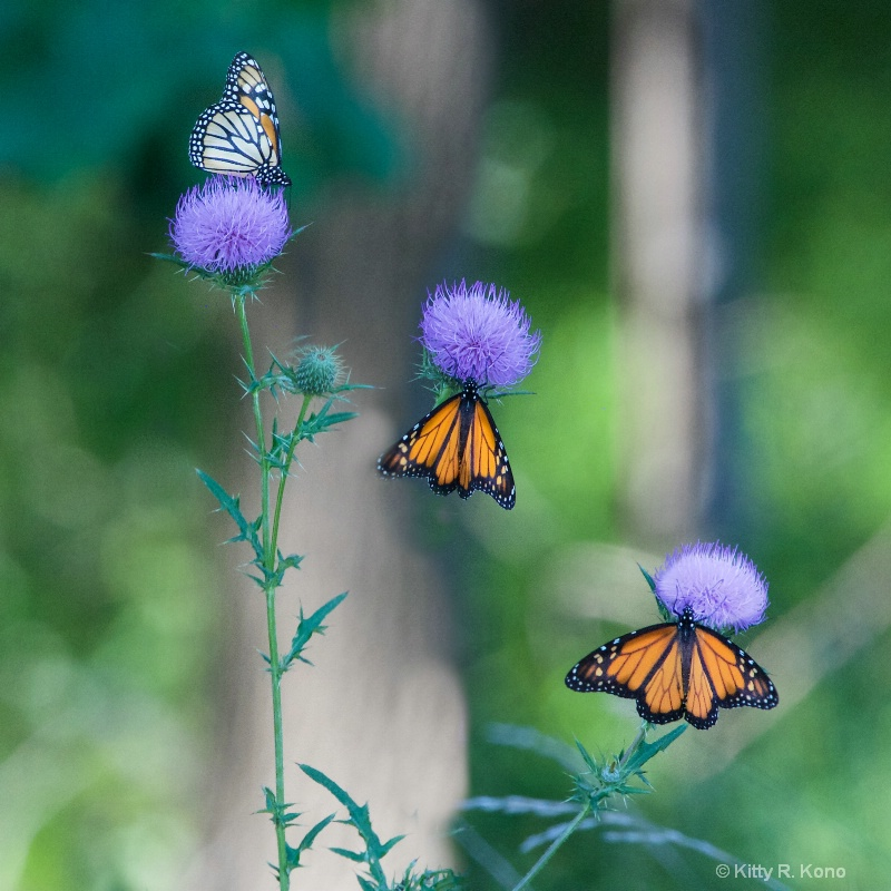 Three Monarchs on Thistle