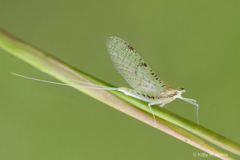 The Ever So Tiny Mayfly