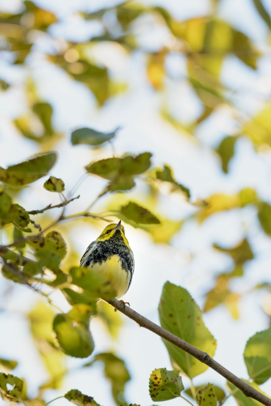 Black-throated Green Warbler front view