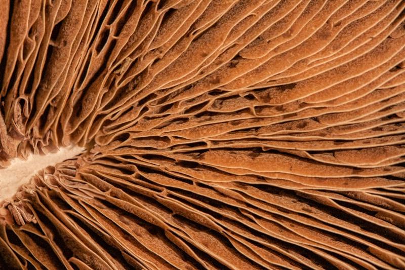 Chocolate Palm