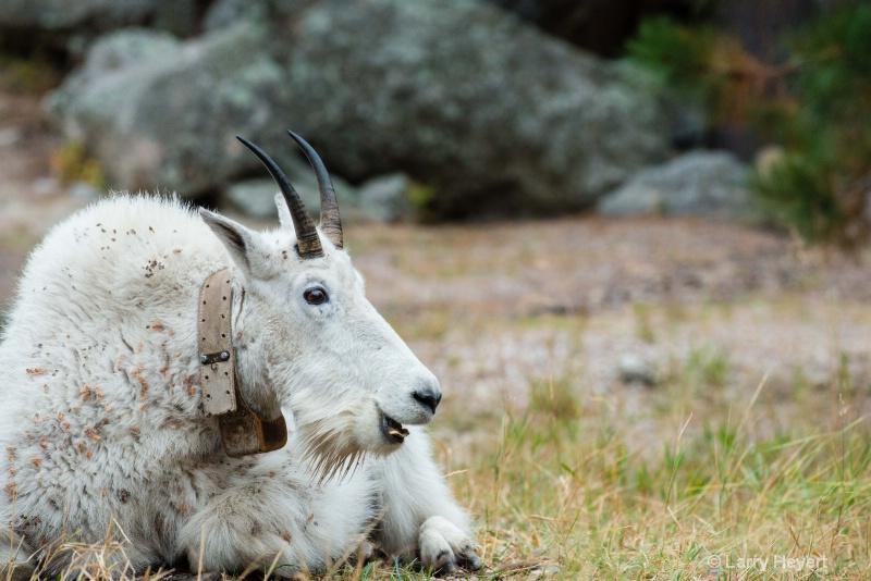 Sheep at Yellowstone National Park