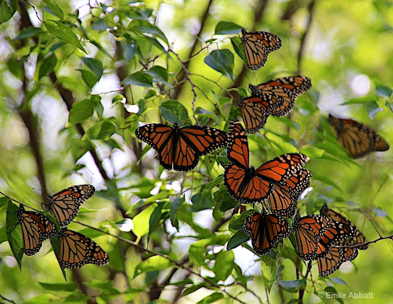 The Monarchs are back.