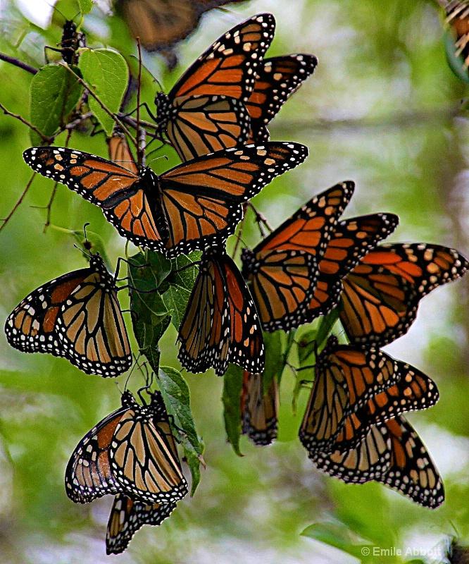 Monarch details