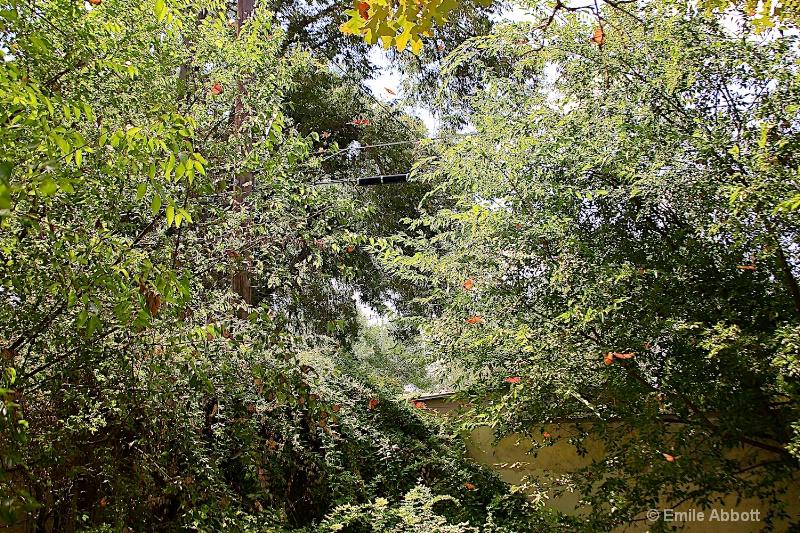 My backyard Monarchs
