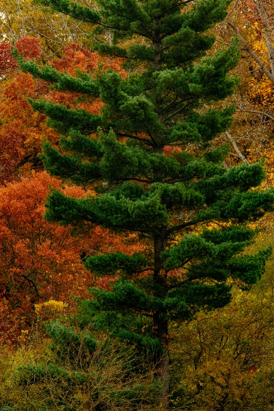 Pine Tree And Autumn Foliage