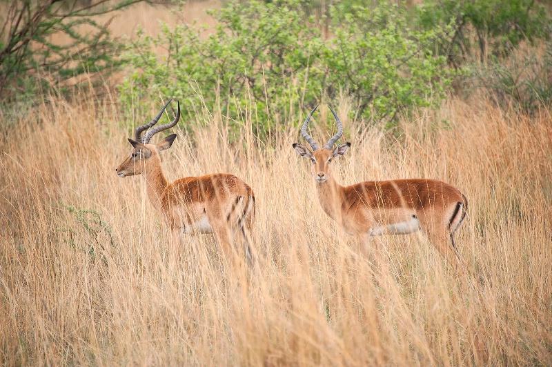 Impala, Pilanesberg Reserve