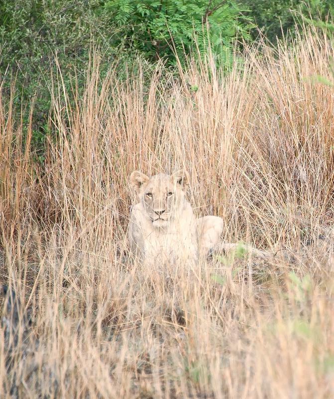 Lion, Pilanesberg Reserve