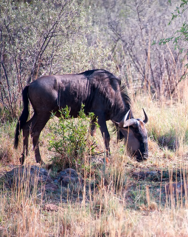 Wildebeest,  Pilanesberg Reserve